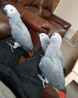 Beautiful Congo African Grey Parrots