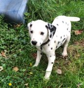 Beautiful Dalmatian Puppies whatsapp me at: 447418348600