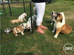 Beautiful English Bulldog puppy for Sale in the UK