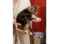 Beautiful Female tabby kitten for Sale in the UK