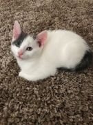 Beautiful Grey And White Kittens for Sale Worcester UK Ready Now at UK Free Classified Ads