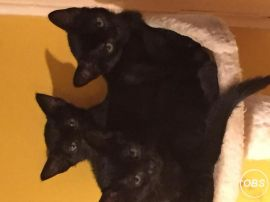 Beautiful half burmese kittens for Sale UK Free Ads