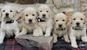 Beautiful KC registered Golden Retriever Puppies