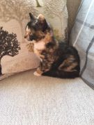 Beautiful Kittens for Sale Lincoln UK Free Classified Ads