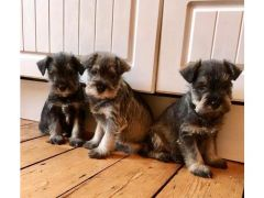 Beautiful Miniature Schnauzer puppy for Sale in the UK