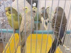 Beautiful Mixed Colour Young Budgies Sale in the UK