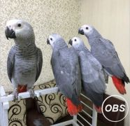 beautiful playful African grey parrots for sale