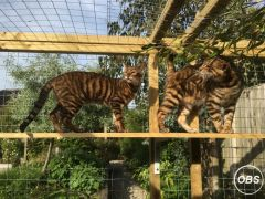 Beautiful Rare Breed Toyger Kittens for Sale UK Free Classified Ads