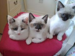 Beautiful Siamese Kittens for Sale Brighton UK Free Classified Ads