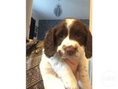 Beautiful sprocker pups for Sale in the UK