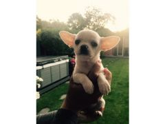 Beautiful Tiny Chihuahua Puppies for sale in the UK