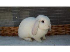 Beautiful White Rabbit Mini lop for Sale in the UK