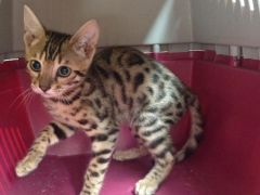 Bengal kittens pedigree looking for new home at UK Free Classified Ads