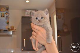 Bi Colour And Blue British Shorthair Boys For New Loving Homes