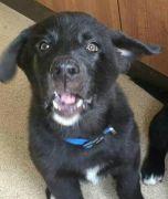 Big Chunky German Shepherd Cross Akita Rottie Puppies for Sale at UK Free Classified Ads