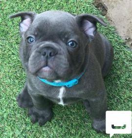 Blue French Bulldog Puppy Boy KC reg