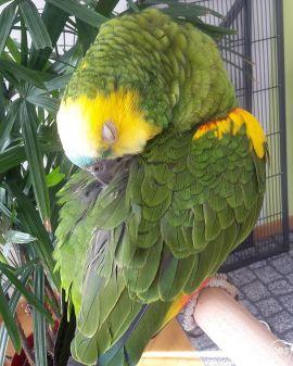 Blue Front Amazon birds for sale