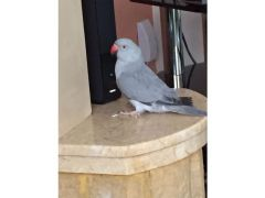 Blue Indian ringneck for Sale in the UK
