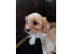 Buy Cheap Cavachon pups for Sale in the UK