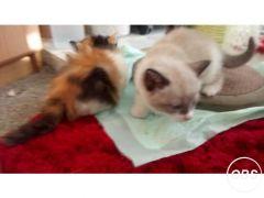 Buy Cheap Persian cross kitten for Sale in the UK