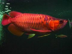 buy Super red arowana Asian red Leichardti Arowana jardini arowana Malysian Gold Base