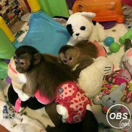 Capuchin Monkeys For New Lovely Homes