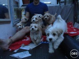 CAVACHON PUPPIES for Sale at UK Free Classified Ads