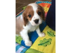 Cavalier King Charles puppies for sale in the UK
