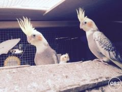 Cheap and Beautiful Cockatiels for sale for Sale in the UK