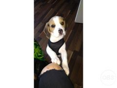 Cheap Beagle puppy for Sale in the UK