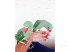 Cheap Beautiful Baby Alxndrian parrot for Sale in the UK