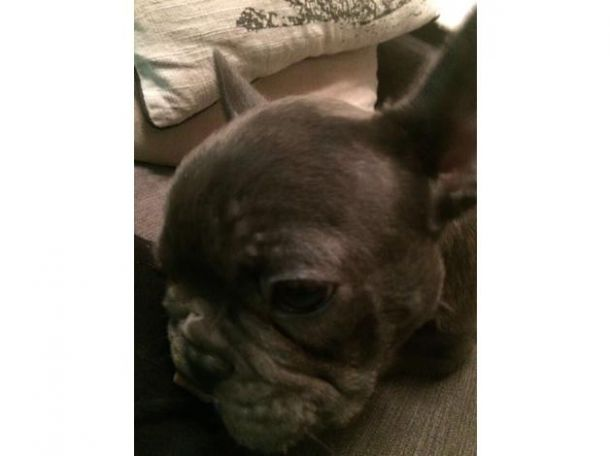 Cheap Blue French Bulldog for Sale in the UK