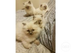 Cheap Female Ragdoll Kittens for Sale in the UK