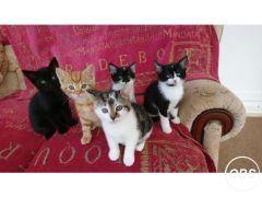 Cheap Kittens Beautiful colours for Sale in the UK