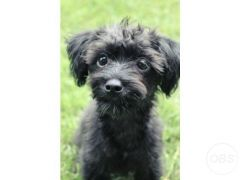 Cheap Lovely little poodlemix for Sale in the UK
