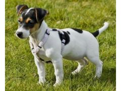 Cheap Loving Jack Russell for sale in the UK