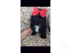 Cheap Shih tzu x toy poodle for Sale in the UK