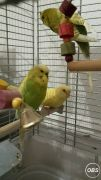 Cheapest Budgies for Sale in the UK