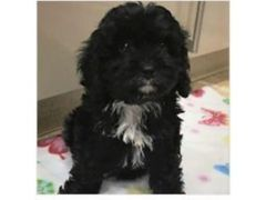 Cheapest Cavapoo Puppies for Sale in the UK