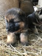 Cheapest German shepherd puppies for Sale in the UK