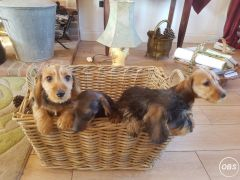 Cheapest Miniture Duchshund Puppies for Sale in the UK