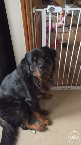 Cheapest Rottweiler for sale for Sale in the UK