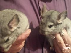 Chinchillas Healthy and Active Looking for New Home at UK Free Ads