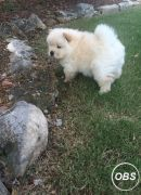 Chow Chow Puppies For Sale whatsapp me at: 447418348600