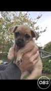 Chug puppies for sale at UK Free Ads