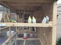 cockatiel with nice wooden cage for sale £100