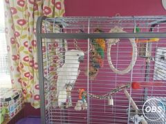 COCKATOOS PARROT for Sale in the UK