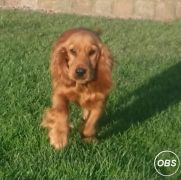 Cocker Pup for Sale at UK Free Classified Ads