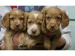 Cocker spaniel puppies for Sale in the UK