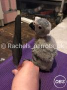 Congo African grey for Sale at UK Free Ads